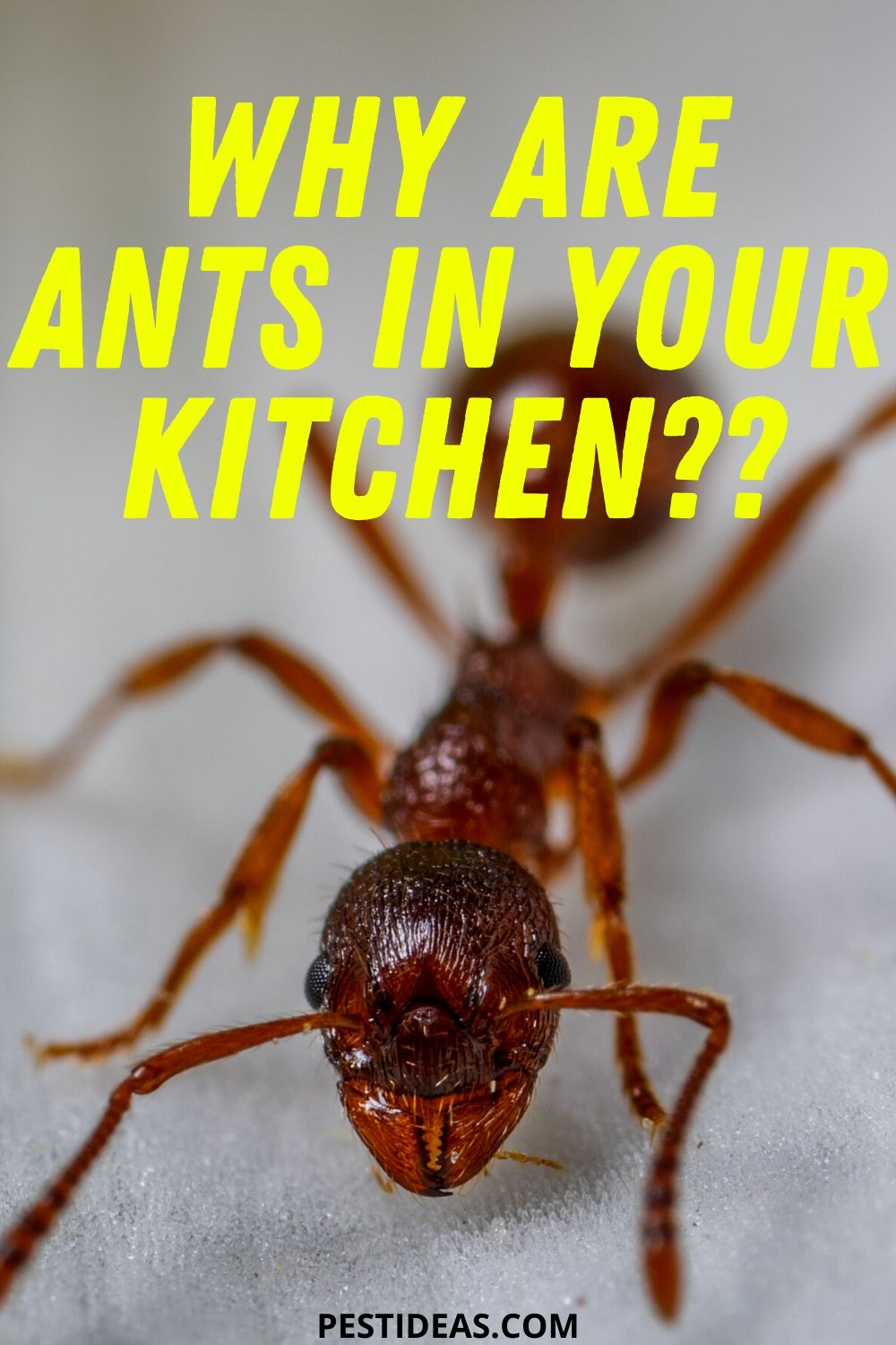Why are Ants in Your Kitchen