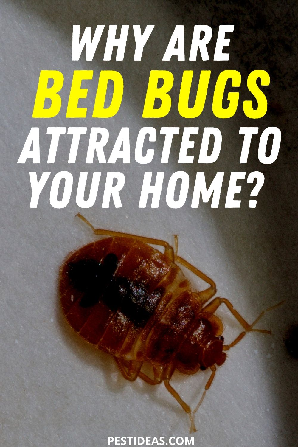 Why are bed bugs attracted to your home