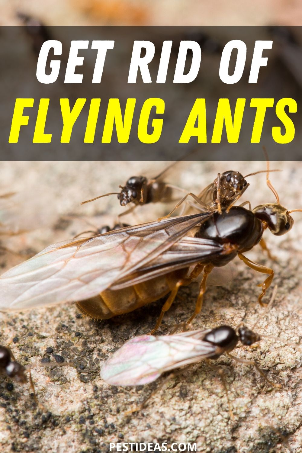Get Rid of Flying Ants