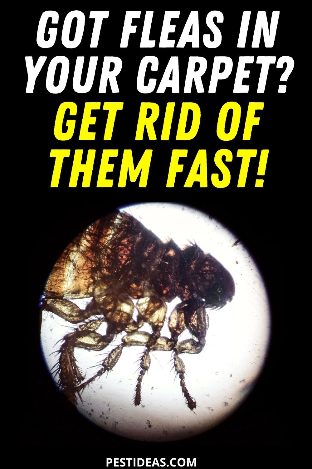 Got Fleas in Your Carpet Get Rid of Them Fast