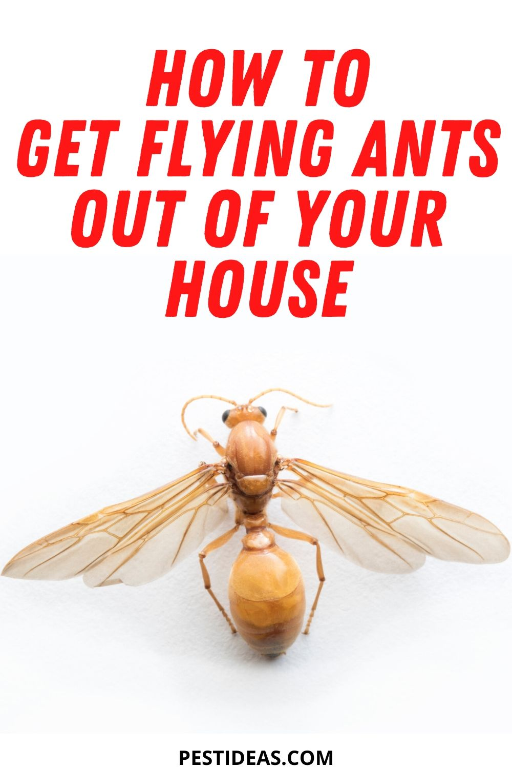 How to Get Rid of Flying Ants in Your Home