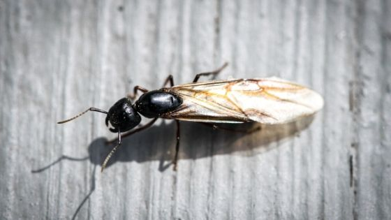 get rid of flying ant