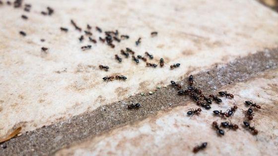 Get rid of ants in bedroom