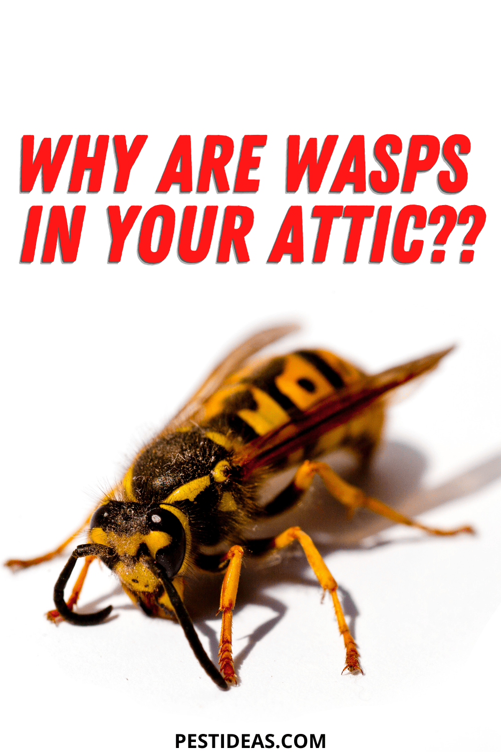 Why are wasps in your attic