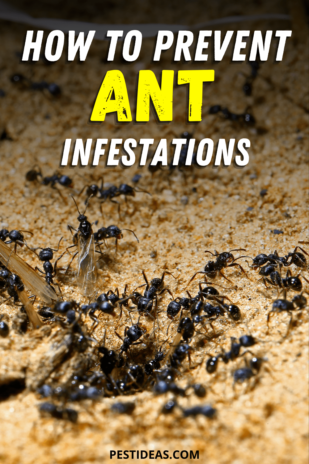 How to Prevent Ant Infesations