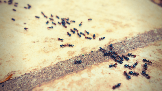 How to stop ant infestations