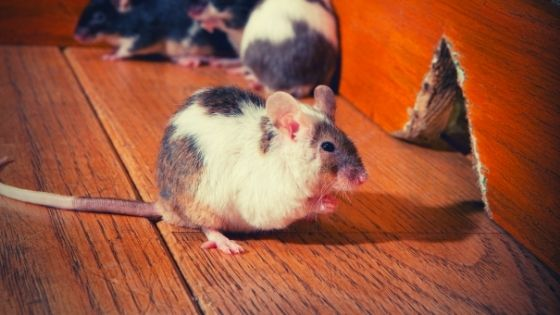 get rid of mice in walls