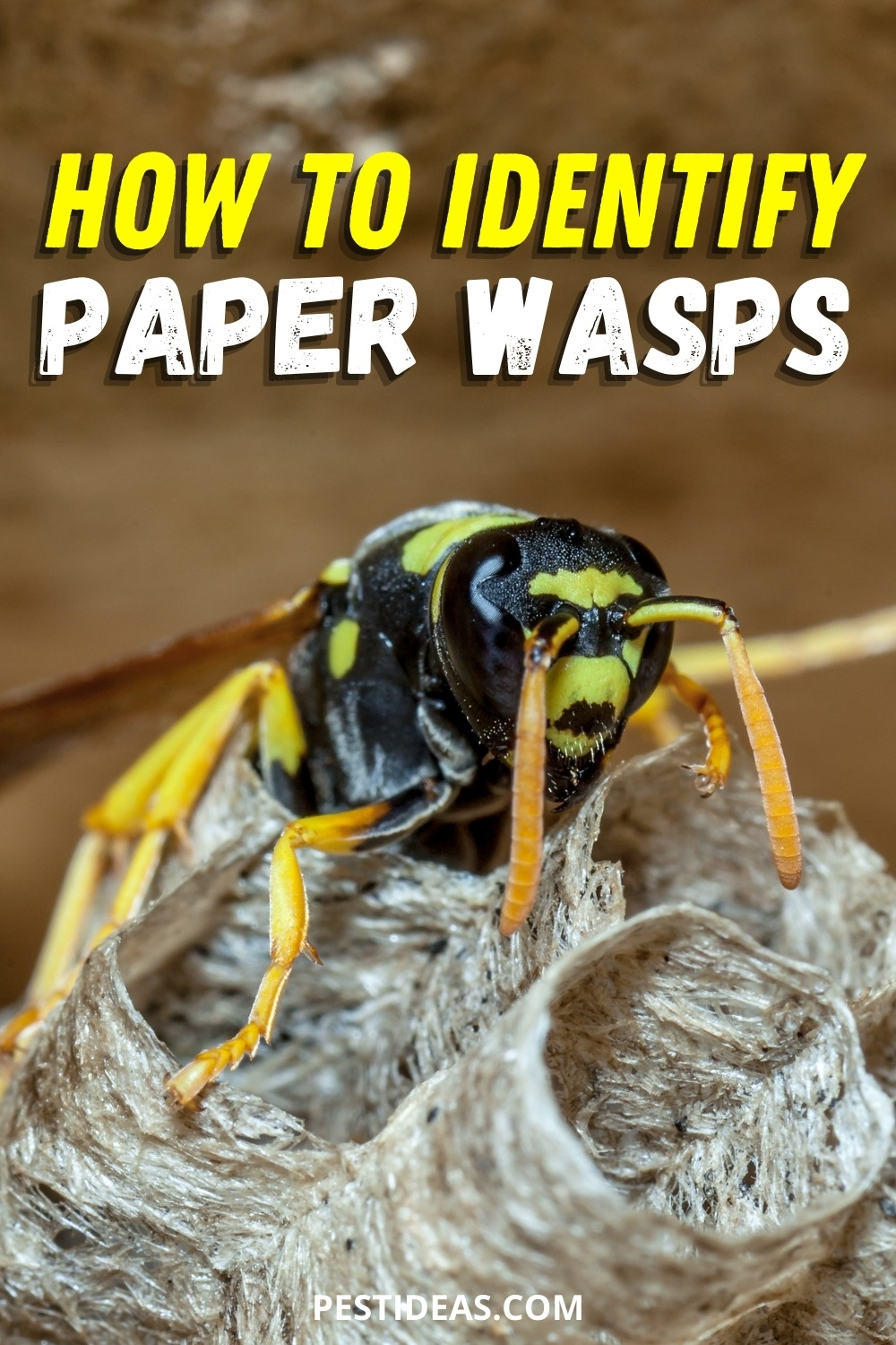 How to identify paper wasps