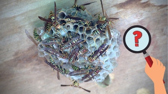 how to identify mud wasp nests