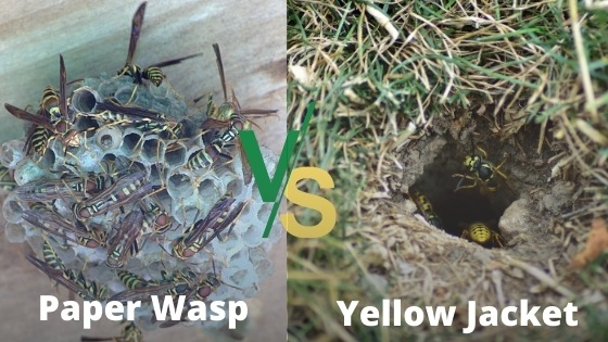paper wasp nest vs yellow jacket nest