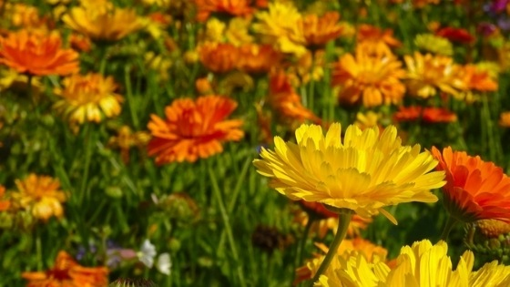 Marigolds for wasp repellent