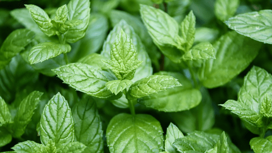 peppermint to repel mosquitos