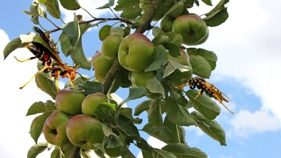 trees that attract wasps