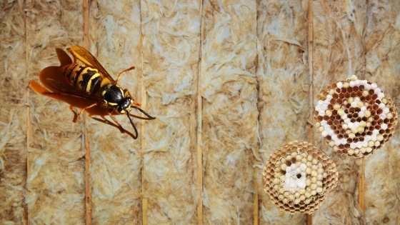 yellow jackets nest in of wall: How to get rid of