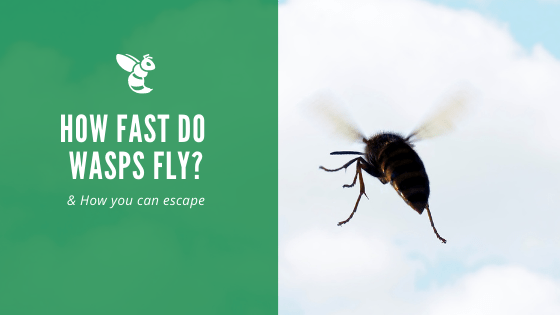 How fast can a wasp fly