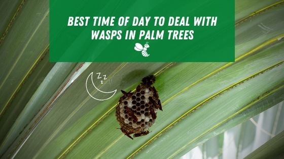 Best time of day to deal with wasps in palm trees