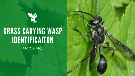 Grass Carrying Wasp Identification