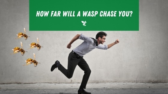 How far will a wasp chase you