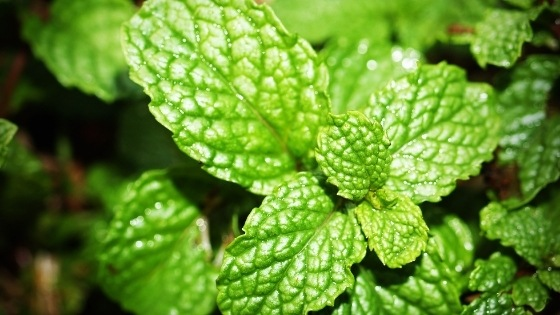 mint to repel wasps