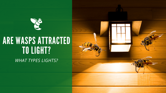 Wasps attracted to lights