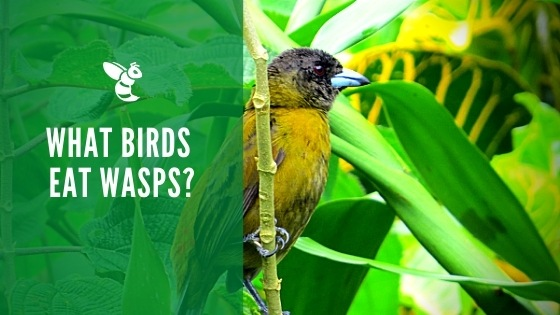 What birds eat wasps