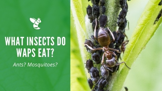 What insects do wasps eat