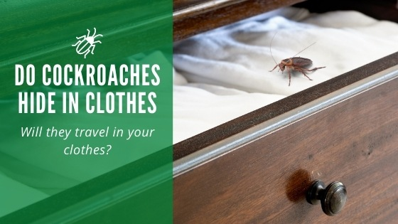 Do cockroaches hide in clothes