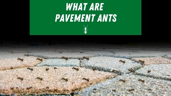 What are paver ants