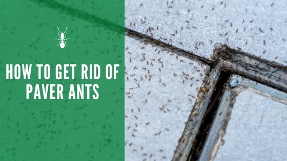 how to get rid of paver ants