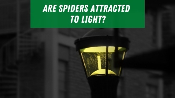 Are spider attracted to light