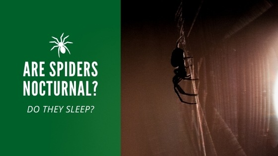 Are spiders nocturnal
