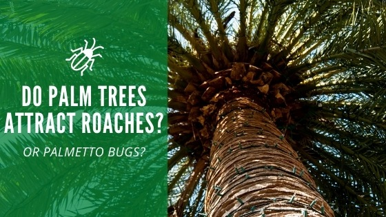 Do palm tree attract roaches