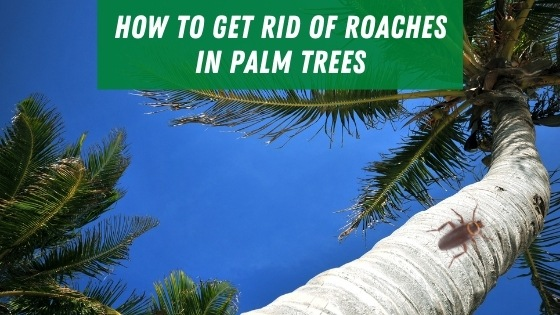 How to get rid of roaches in palm trees'