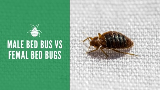 Male bed bugs vs female bed bugs