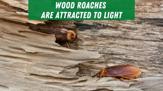 Wood roaches are attracted to light