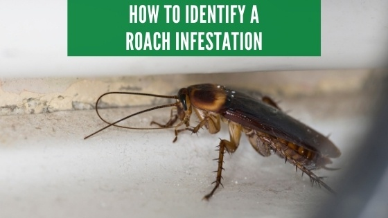 How to identify a roach infestation