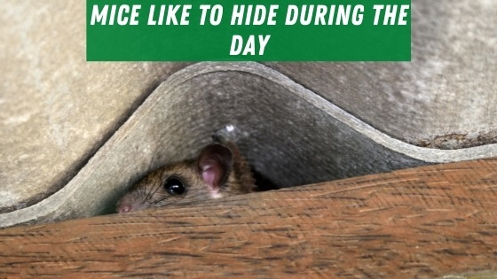 Mice hide during the day