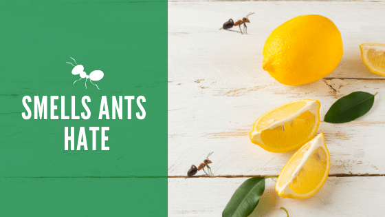 Smells ants hate
