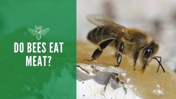 Do bees eat meat