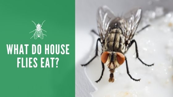 What do house flies eat