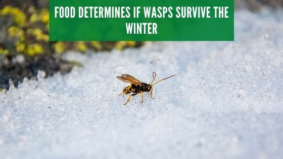 Food determines if wasps survive the winter