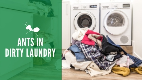 get rid of ants in dirty laundry