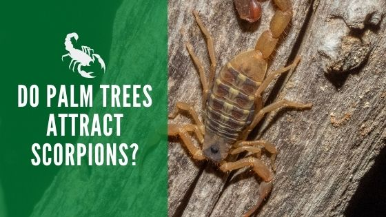 Do Palm Trees Attract Scorpions