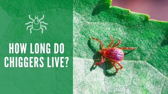 How Long Do Chiggers Live